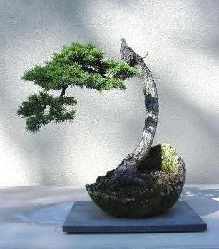 how to stop a pine tree from growing taller