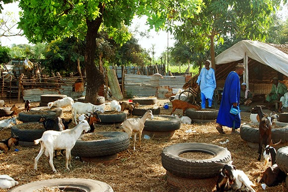 goat market gambia