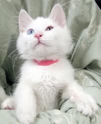 Anak Kucing Angora putih yang cantik