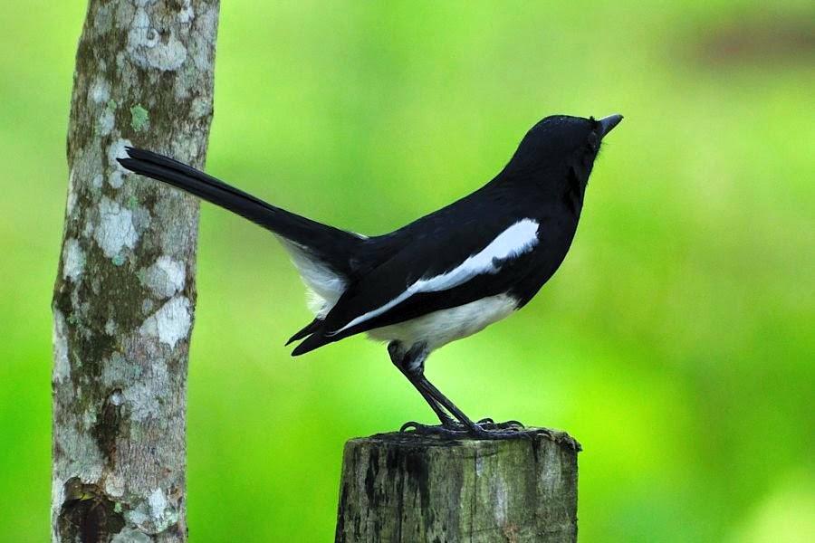 Burung Murai Kacer Jantan