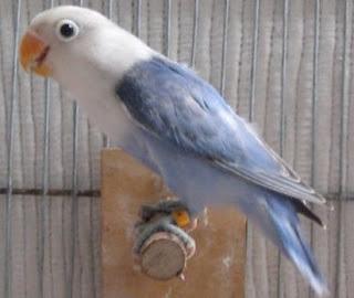 gambar lovebird surabaya waffen ss aviary warna warni love