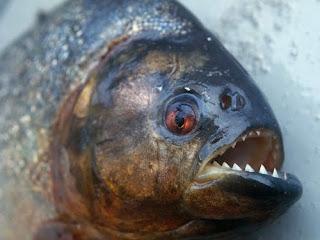 Black Piranha The Fish With Most Powerful Bite