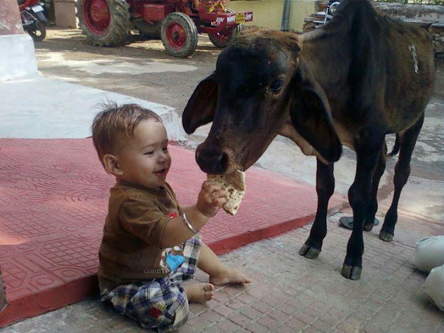 funny photos from India, feeding cow