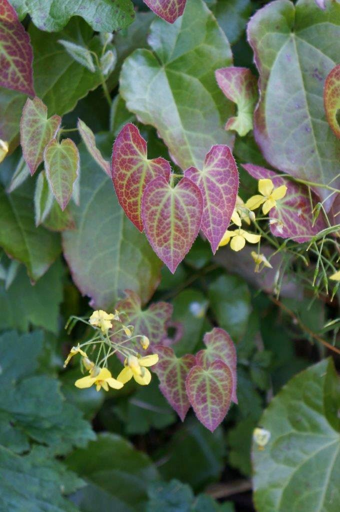 Beautiful heart shaped leaves and yellow blooms of epimedium in the garden.