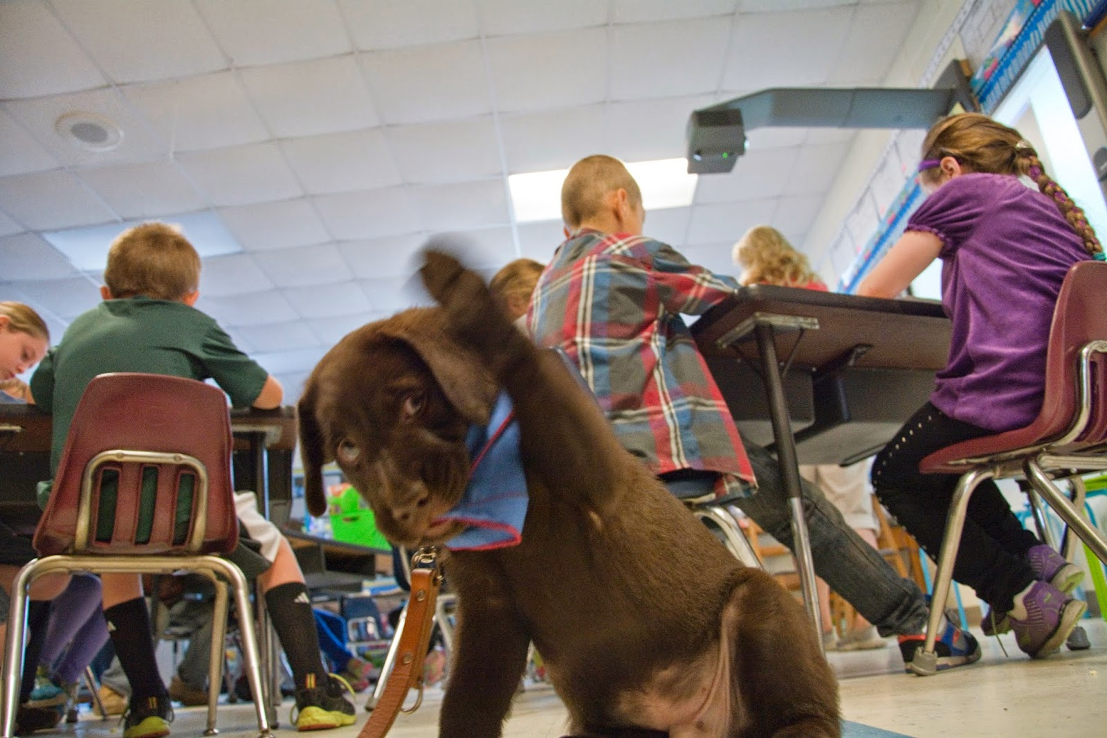 The small chocolate lab is reaching up with his left from paw while he is sitting by the second-graders. The kids are behind him at their tables.