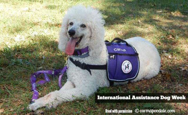 Good friend Carma Poodale helps Oz the Terrier celebrate International Assistance Dog Week