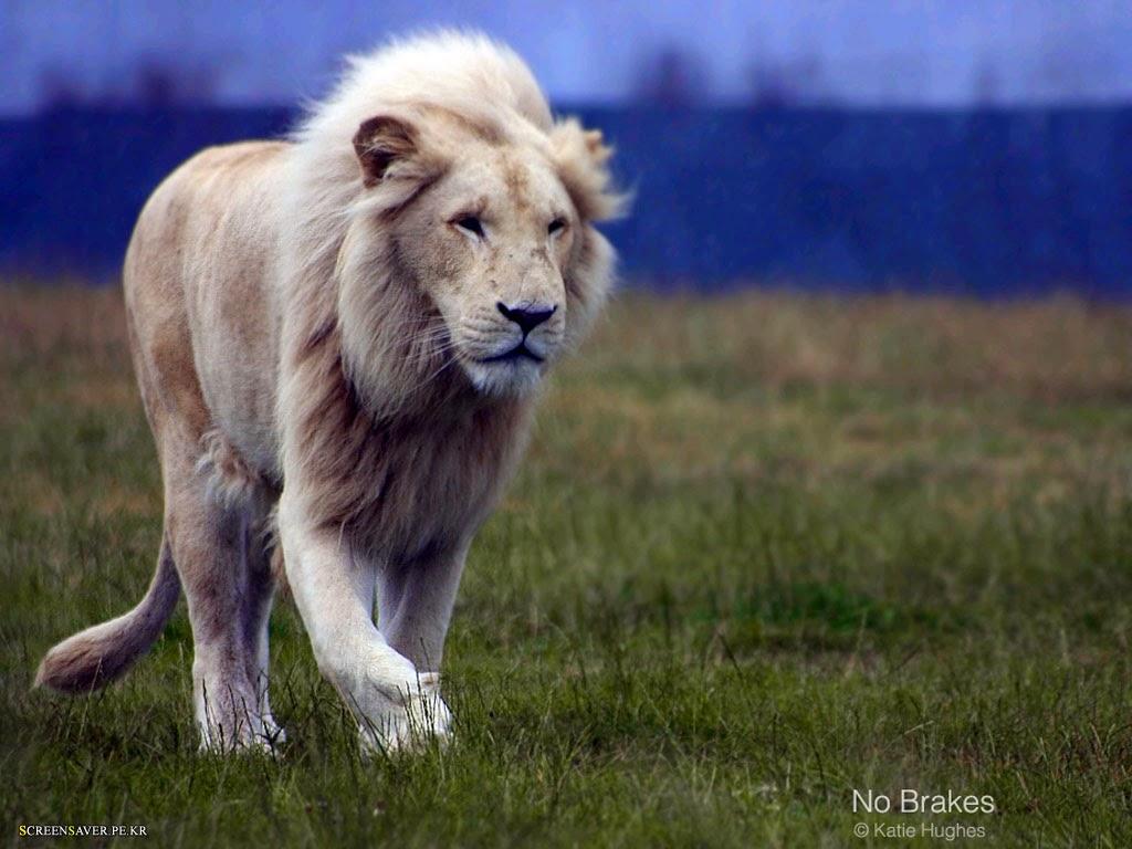 Wonderful   Wallpaper Horse Lion - --white-lion_0001  Photograph_429177.jpg