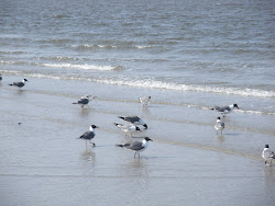 Seagulls on St. Edisto Beach_South Carolina