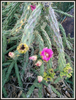 cholla in bloom - photo by susan smith nash, ph.d.
