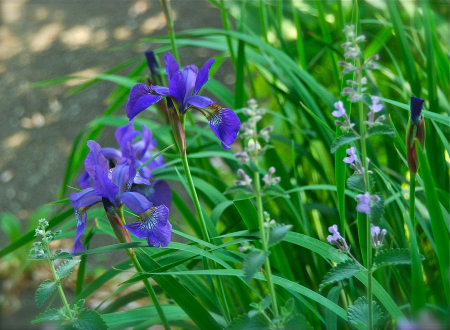 Iris siberica blooming with Nepeta 'Walker's Low' in our curb by the front sidewalk.