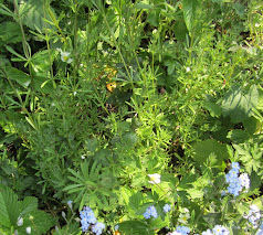 Garden cleavers in April