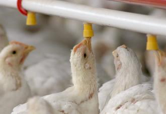 onvenia anuncios clasificados de colombia el mito de las hormonas en el pollo. Black Bedroom Furniture Sets. Home Design Ideas