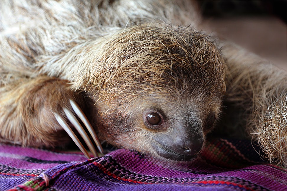 two toed sloth vs three toed Start studying costa rica animal facts learn vocabulary, terms  two-toed sloths have six to eight and three-toed sloths have 8 or 9 sloth density.
