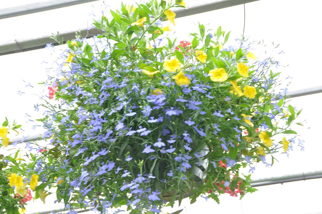 Municipal Hanging Flower Baskets : Mioux florist greenhouses lots of color and flowers