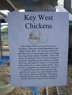 Key West Road-trip: Gypsy Chickens in Key West