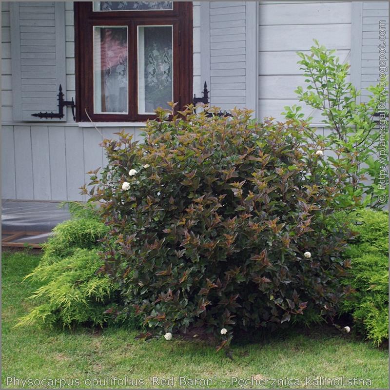 Physocarpus opulifolius 'Red Baron' - Pęcherznica kalinolistna 'Red Baron'