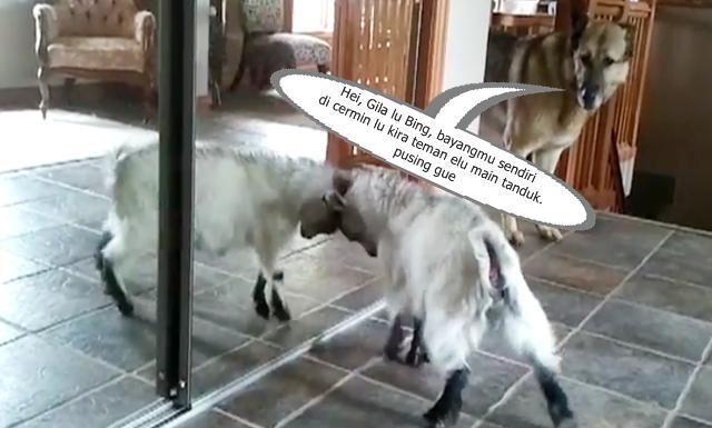 bayi kambing