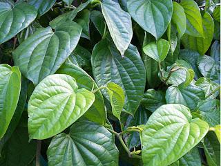 manfaat daun sirih untuk kesehatan wajah