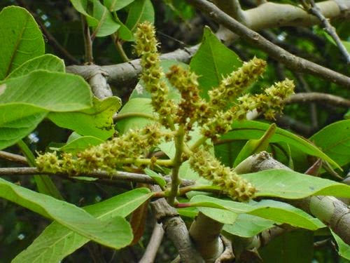 Arjuna (Terminalia Arjuna) Overview, Health Benefits, Side effects