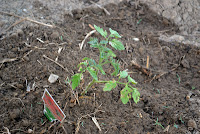 a tomato plant in our dry garden