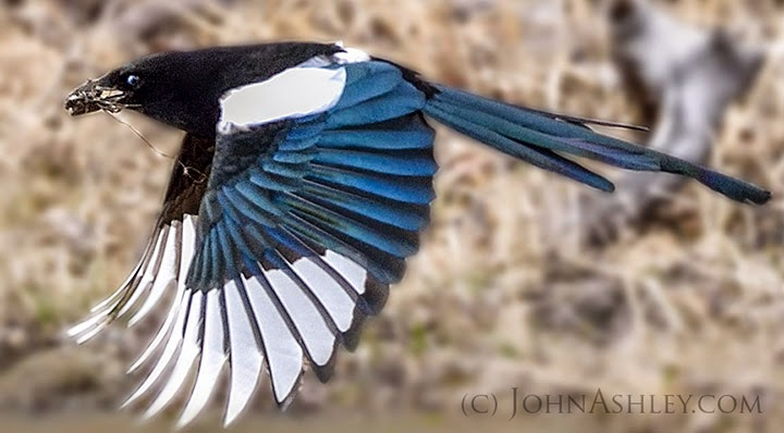 Female magpie carries mud for nest construction (c) John Ashley
