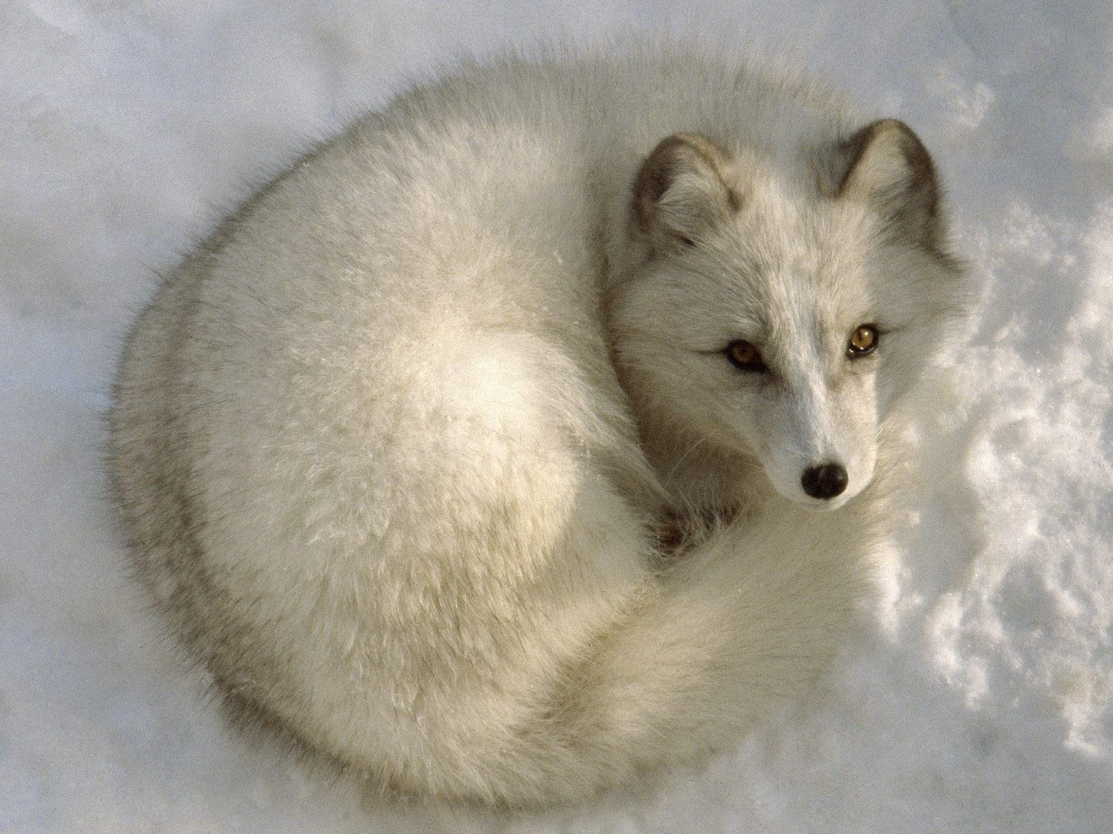 http://1.bp.blogspot.com/-gabhBiP62pY/TdZjQxKL4DI/AAAAAAAAGXg/BY3o21ivax4/s1600/Arctic-Fox-wallpaper.jpg