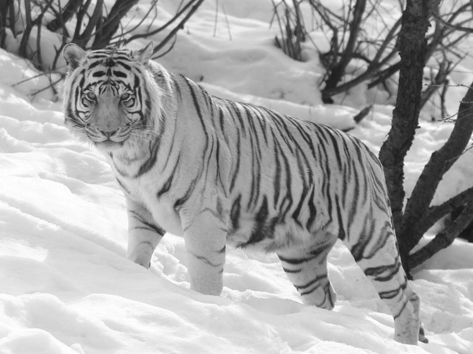 battle hymn of the tiger mother essay