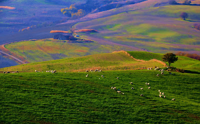 Borregos en los verdes prados - Sheep in green pastures