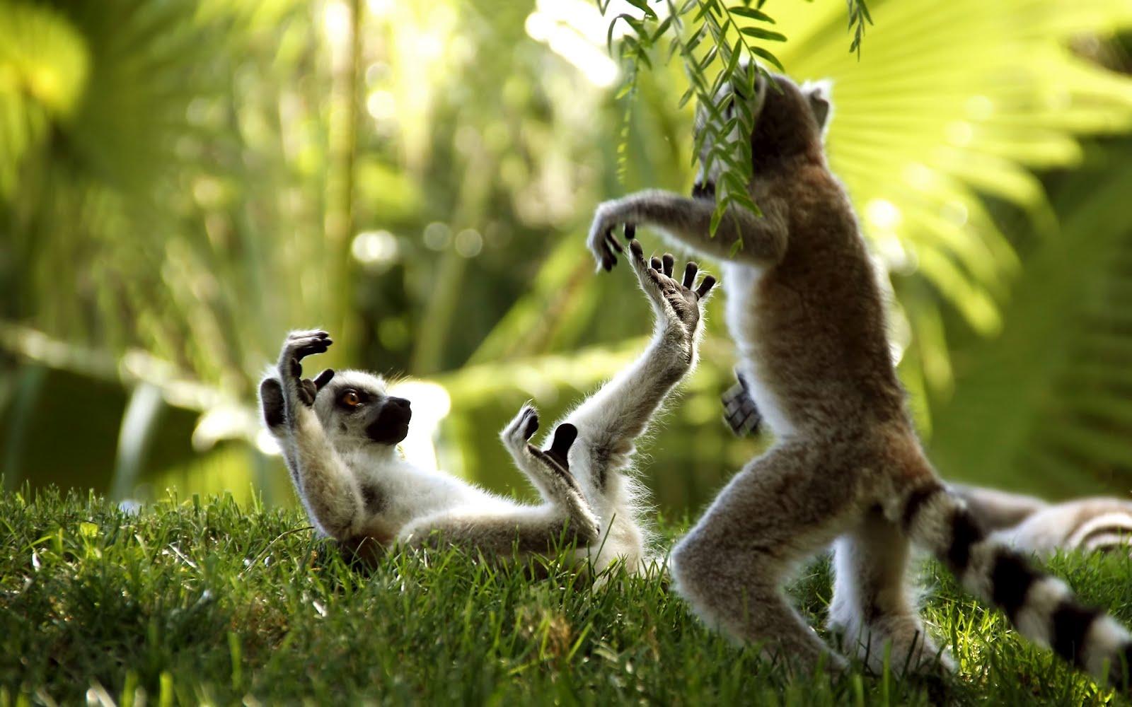 Маймунски бизнес, HD Wallpaper