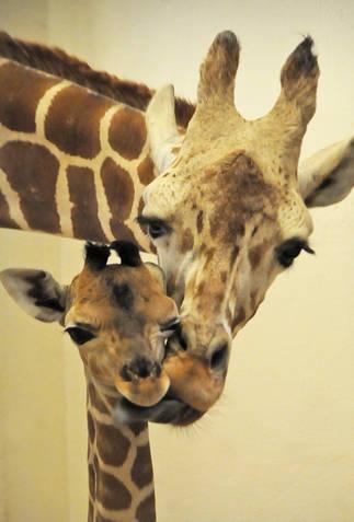 giraffe mom zoo giraffes tongue too ticklish bath rough animals having mother re mommy chin under momma sponge please aww