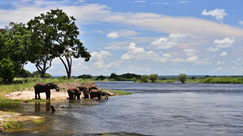 Elephants playing by the Zambezi River, Victoria Falls, Zimbabwe