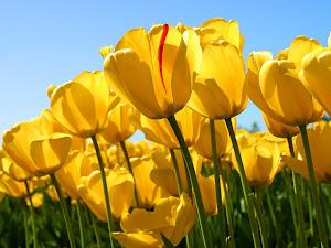 Conheça os cinco pontos que deram origem ao acróstico Tulip (pergunte ao pastor).