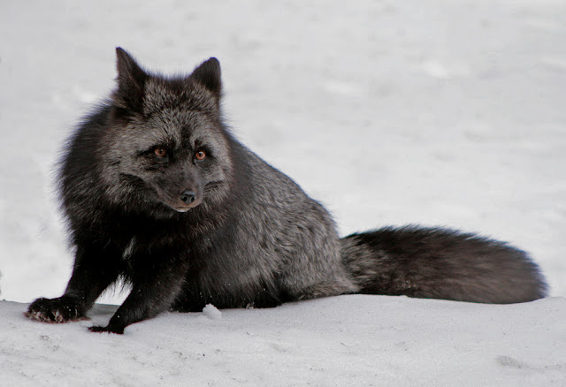 15 amazing melanistic animals, black animals, melanistic animals, melanism,
