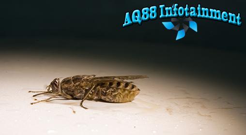 Penyakit tidur yang disebarkan oleh lalat Tsetse masih menjadi momok bagi sebagian besar warga di pedalaman Benua Afrika. Untuk mengatasinya, sekelompok peneliti dari Liverpool, Inggris, menggunakan perangkap khusus yang berwarna biru.