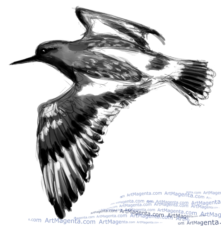 Black Turnstone sketch painting. Bird art drawing by illustrator Artmagenta