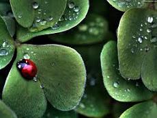 Coccinella portafortuna