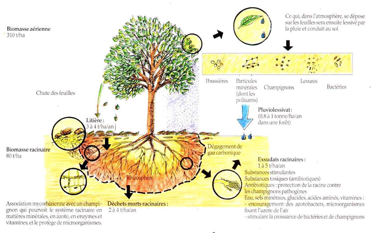 Les mycorhizes, une symbiose parfaite