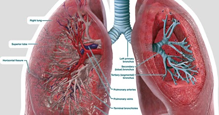 DIAGRAMS  Lungs Cross Section  Labeled  Body    Diagram