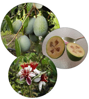 Feijoa fruit plant