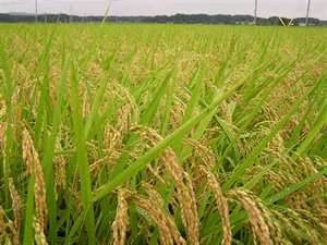 PENDAHULUAN  Produksi gabah padi di Indonesia rata-rata 4 - 5 ton/ha. PT. NATURAL NUSANTARA berupaya membantu tercapainya ketahanan pangan nasional melalui peningkatan produksi padi berdasarkan asas kuantitas, kualitas dan kelestarian ( K-3 ).  SYARAT TUMBUH  Padi dapat tumbuh pada ketinggian 0-1500 mdpl dengan temperatur  19-270C , memerlukan penyinaran matahari penuh tanpa naungan. Angin berpengaruh pada penyerbukan dan pembuahan. Padi menghendaki tanah lumpur yang subur dengan ketebalan 18-22 cm dan pH tanah 4 - 7.  PEDOMAN TEKNIS BUDIDAYA  A.Benih  Dengan jarak tanam 25 x 25 cm per 1000 m2 sawah membutuhkan 1,5-3 kg. Jumlah ideal benih yang disebarkan sekitar 50-60 gr/m2. Perbandingan luas tanah untuk pembenihan dengan lahan tanam adalah 3 : 100, atau 1000 m2 sawah : 3,5 m2 pembibitan  B.Perendaman Benih  Benih direndam POC NASA dan air, dosis 2 cc/lt air selama 6-12 jam. tiriskan dan masukkan karung goni, benih padi yang mengambang dibuang. Selanjutnya diperam menggunakan daun pisang atau dipendam di dalam tanah selama 1 - 2 malam hingga benih berkecambah serentak.  C.Pemeliharaan Pembibitan/Penyemaian  Persemaian diairi dengan berangsur sampai setinggi 3 - 5 cm. Setelah bibit berumur 7-10 hari dan 14-18 hari, dilakukan penyemprotan POC NASA dengan dosis 2 tutup/tangki.  D. Pemindahan benih  Bibit yang siap dipindahtanamkan ke sawah berumur 21-40 hari, berdaun 5-7 helai, batang bawah besar dan kuat, pertumbuhan seragam, tidak terserang hama dan penyakit.  F. Pemupukan  Pemupukan seperti pada tabel berikut, dosis pupuk sesuai dengan hasil panen yang diinginkan. Semua pupuk makro dicampur dan disebarkan merata ke lahan sesuai dosis.  Khusus penggunaan Hormonik bisa dicampurkan dengan POC NASA kemudian disemprotkan ( 3-4 tutup NASA + 1 tutup HORMONIK /tangki ). Hasil akan bervariasi tergantung jenis varietas, kondisi dan jenis tanah, serangan hama dan penyakit serta  TABEL PENGGUNAAN POC NASA DAN SUPERNASA  Waktu Aplikasi  Jenis Pupuk   Olah Tanah (kg)   14 hari (
