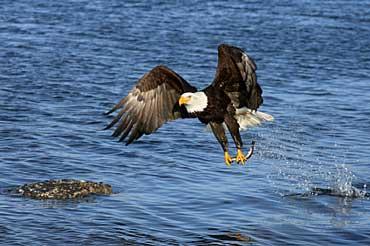 Bald eagle bald eagle 39 s habitat - Bold habitat ...