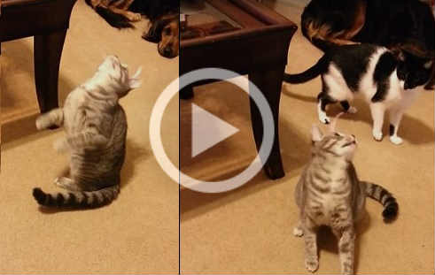VIDEO: Cat goes Crazy Trying to Get Sticker off her Head / The Fun with Kitty and a Sticker