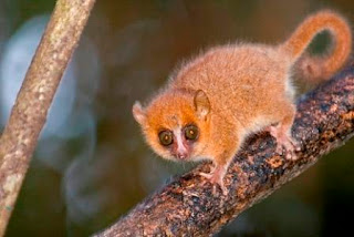 grey mouse lemur