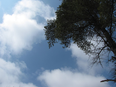 blue sky through pines