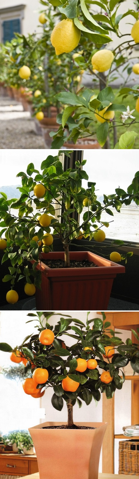 the most popular dwarf citrus trees in containers