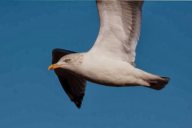 Herring Gull (Not photographed on the Patch, just to add some colour)