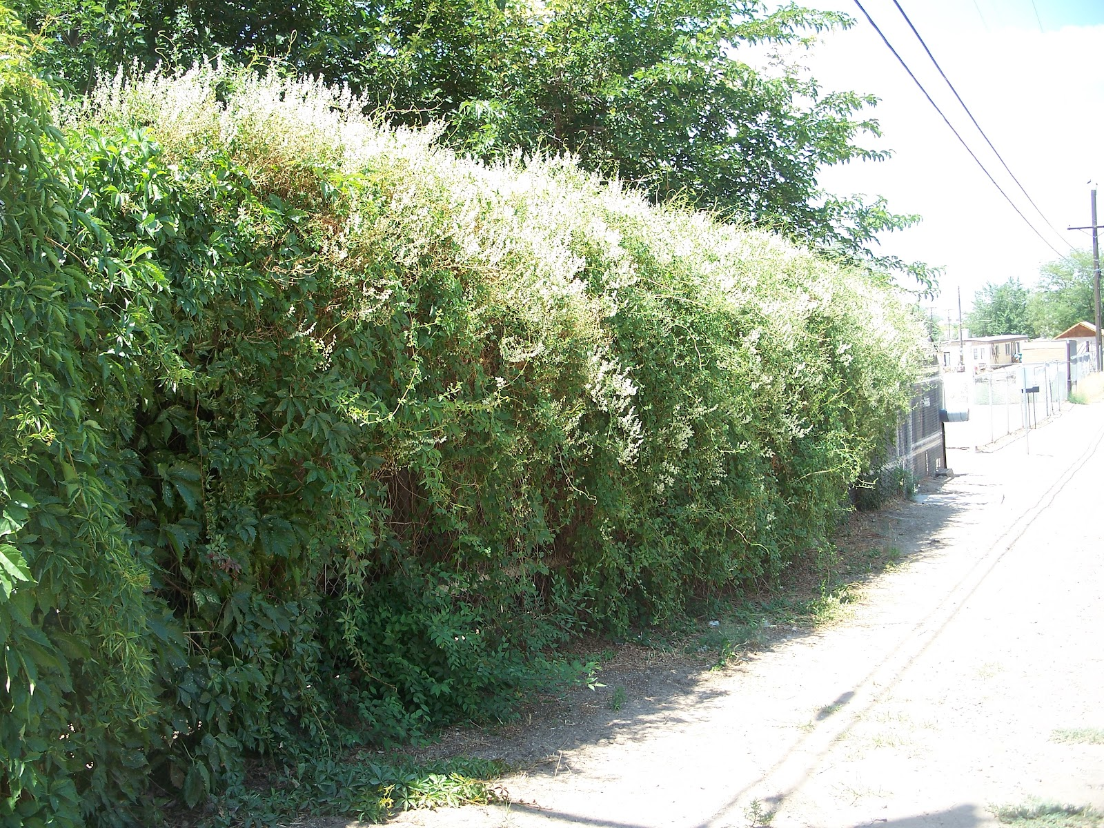 Trees that please nursery silver lace vine for Fast growing fence covering plants