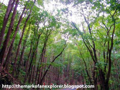 man made mahogany forest bohol