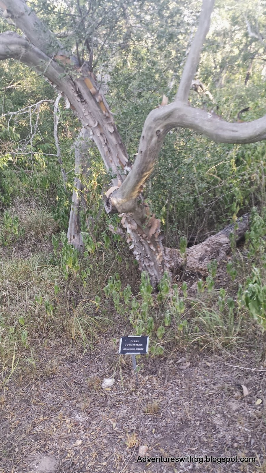 A Persimmon Tree and an Identification Placard