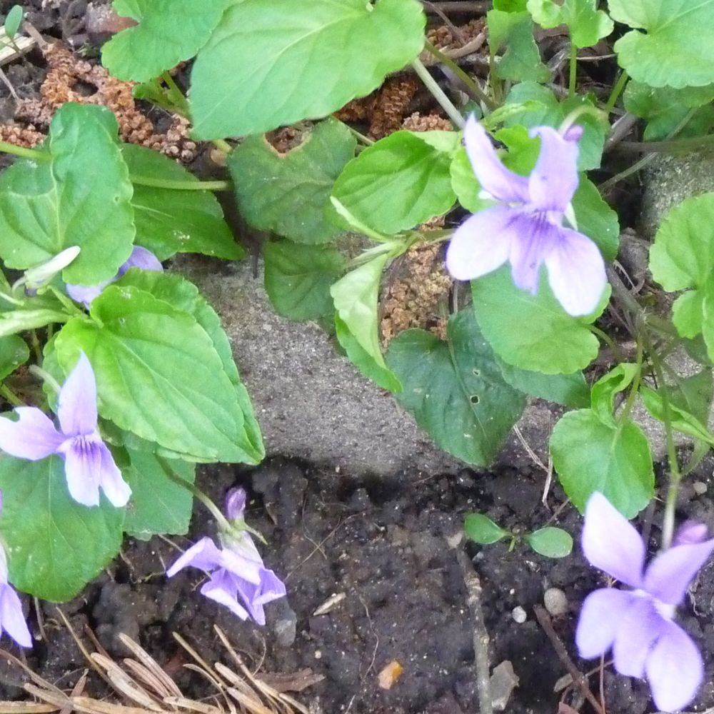 les fleurs comestibles et les plantes aromatiques de votre jardin la violette. Black Bedroom Furniture Sets. Home Design Ideas